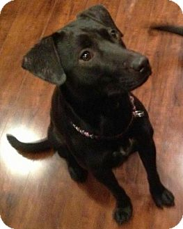 Labrador Retriever/Retriever (Unknown Type) Mix Dog for adoption in North Olmsted, Ohio - Cassidy