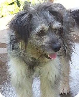 Schnauzer (Miniature)/Terrier (Unknown Type, Small) Mix Dog for adoption in Mission Viejo, California - AXEL
