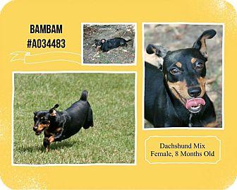 Dachshund Mix Dog for adoption in Lufkin, Texas - Bambam