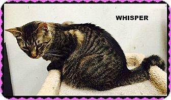 Domestic Shorthair Cat for adoption in Valley Park, Missouri - Whisper
