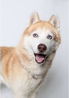 "Siberian Husky Dog for adoption in Minerva, Ohio - Meeka Moo""I'm ADOPTED"""