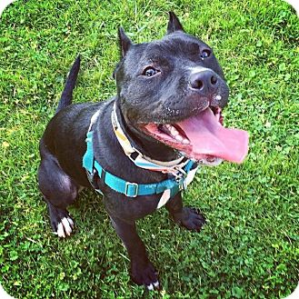 American Staffordshire Terrier/Pit Bull Terrier Mix Dog for adoption in Pittsburgh, Pennsylvania - Pepe