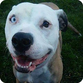 Pit Bull Terrier Dog for adoption in Huntington, Indiana - Summer June