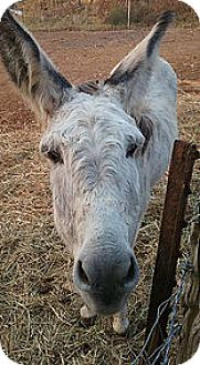 Donkey/Mule/Burro/Hinny for adoption in Loudon, Tennessee - Agnass