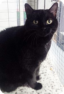 Domestic Shorthair Cat for adoption in Mission, British Columbia - Jynx