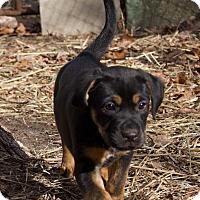 Adopt A Pet :: Cokie - Toms River, NJ