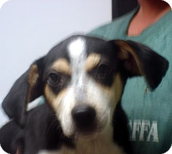 Beagle Mix Dog for adoption in Greencastle, North Carolina - Adam