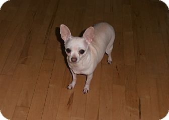 Chihuahua Mix Dog for adoption in Seattle, Washington - Lucy