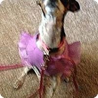 Adopt A Pet :: Jersey Girl - Encinitas, CA