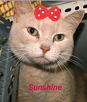 Domestic Shorthair Cat for adoption in Marion, Kentucky - Sunshine