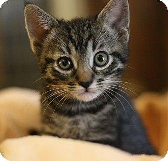 Maine Coon Kitten for adoption in Canoga Park, California - Simone