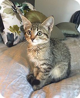 Domestic Shorthair Kitten for adoption in Austin, Texas - Tinkerbell