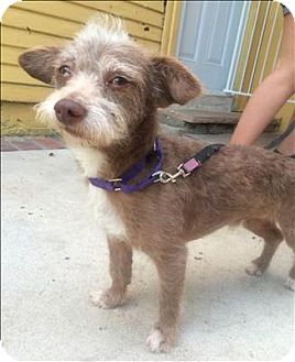 Terrier (Unknown Type, Small) Mix Dog for adoption in Encino, California - Gunner