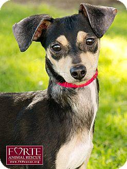 Miniature Pinscher/Dachshund Mix Dog for adoption in Marina del Rey, California - Titi