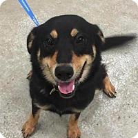 Adopt A Pet :: Myra - Seattle, WA