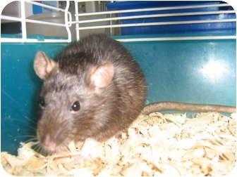 Rat for adoption in Cincinnati, Ohio - Thelma