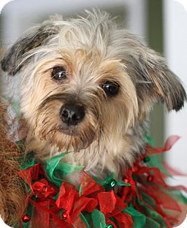 Yorkie, Yorkshire Terrier Puppy for adoption in Dayton, Ohio - Mikey