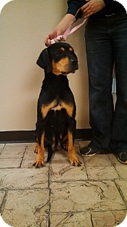 Rottweiler Mix Dog for adoption in Oviedo, Florida - Heidi
