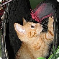Adopt A Pet :: Pumpkin - Clearfield, UT