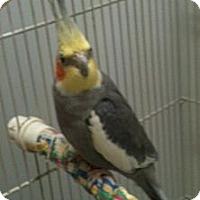 Adopt A Pet :: Alvin - Lenexa, KS
