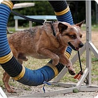 Adopt A Pet :: Bandit - Siler City, NC