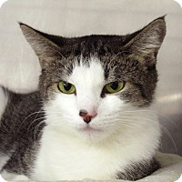 Adopt A Pet :: Villari - Chicago, IL