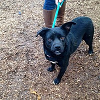 Terrier (Unknown Type, Medium)/Pug Mix Dog for adoption in McKenzie, Tennessee - O'Hail