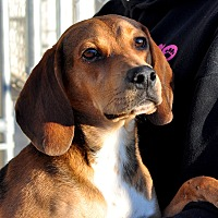 Beagle Mix Dog for adoption in Tanner, Alabama - Beauford