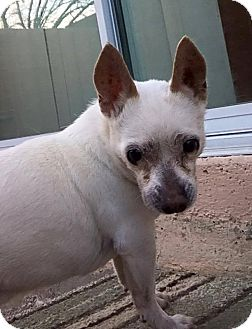 Chihuahua Mix Dog for adoption in Las Vegas, Nevada - Al
