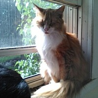 Domestic Longhair Cat for adoption in Abrams, Wisconsin - Gracie