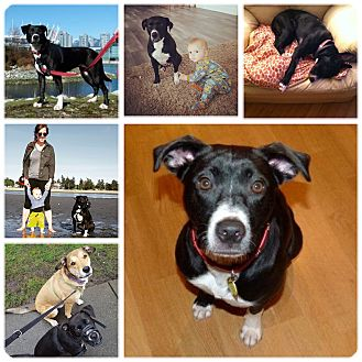 American Staffordshire Terrier/Border Collie Mix Dog for adoption in Chilliwack, British Columbia - Stout (prev. Jaida)