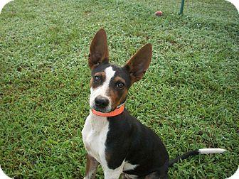 Rat Terrier Mix Puppy for adoption in Mount Ida, Arkansas - Radar