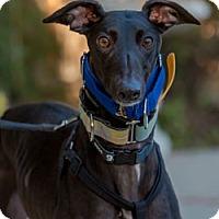 Adopt A Pet :: Dawn - Walnut Creek, CA