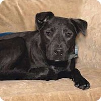 Labrador Retriever/Terrier (Unknown Type, Medium) Mix Dog for adoption in Sudbury, Massachusetts - Adonis