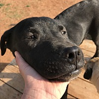 Adopt A Pet :: Shadow - Denver City, TX