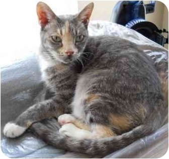 Domestic Shorthair Cat for adoption in Elkton, Maryland - Only 3 Legs but Lots of Love!