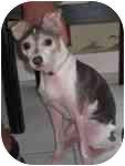 Rat Terrier Mix Dog for adoption in Jacksonville, Florida - Missy Foster