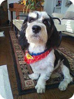 Basset Hound/Shih Tzu Mix Dog for adoption in Encino, California - MURPHT the Bass Tzu!