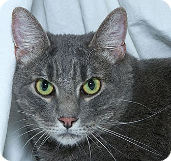 Domestic Shorthair Cat for adoption in Sacramento, California - Hannibal