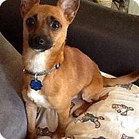 Adopt A Pet :: PeeWee - Plainfield, CT