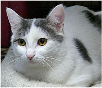 Domestic Shorthair Cat for adoption in Milford, Massachusetts - Felice