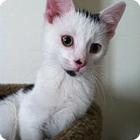 Adopt A Pet :: Snoopy - Trevose, PA