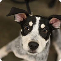 Adopt A Pet :: Dash - Minneapolis, MN