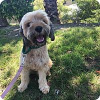Adopt A Pet :: Beignet - Mission Viejo, CA