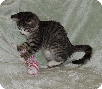 Domestic Shorthair Kitten for adoption in Plano, Texas - AMELIA - FLYING TO YOUR HEART