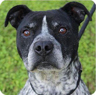 Australian Shepherd/Pit Bull Terrier Mix Dog for adoption in Red Bluff, California - ROYCE