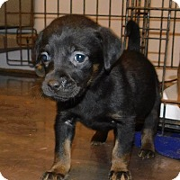 Adopt A Pet :: 2 shep lab mixes - mooresville, IN