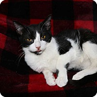 Domestic Shorthair Kitten for adoption in Mackinaw, Illinois - Beauty