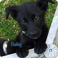 Adopt A Pet :: Bailey - Spring, TX