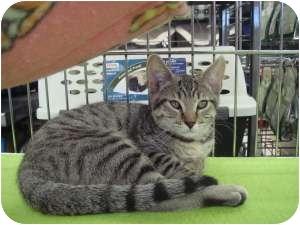Domestic Shorthair Cat for adoption in Sacramento, California - Benson
